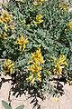 Corydalisaurea.jpg