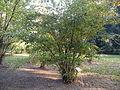 Corylus avellana (3).JPG