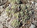 Coryphantha maiz-tablasensis (5710961870).jpg