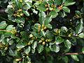 Cotoneaster divaricatus Kiev3.JPG