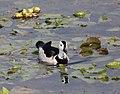 Cotton Pygmy Goose 3.jpg