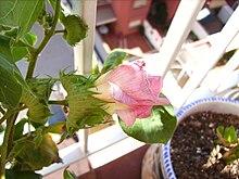 informacion de la planta de algodon