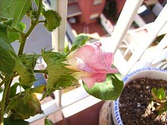 Gossypium - Image: Cotton plant flower G. hirsutum