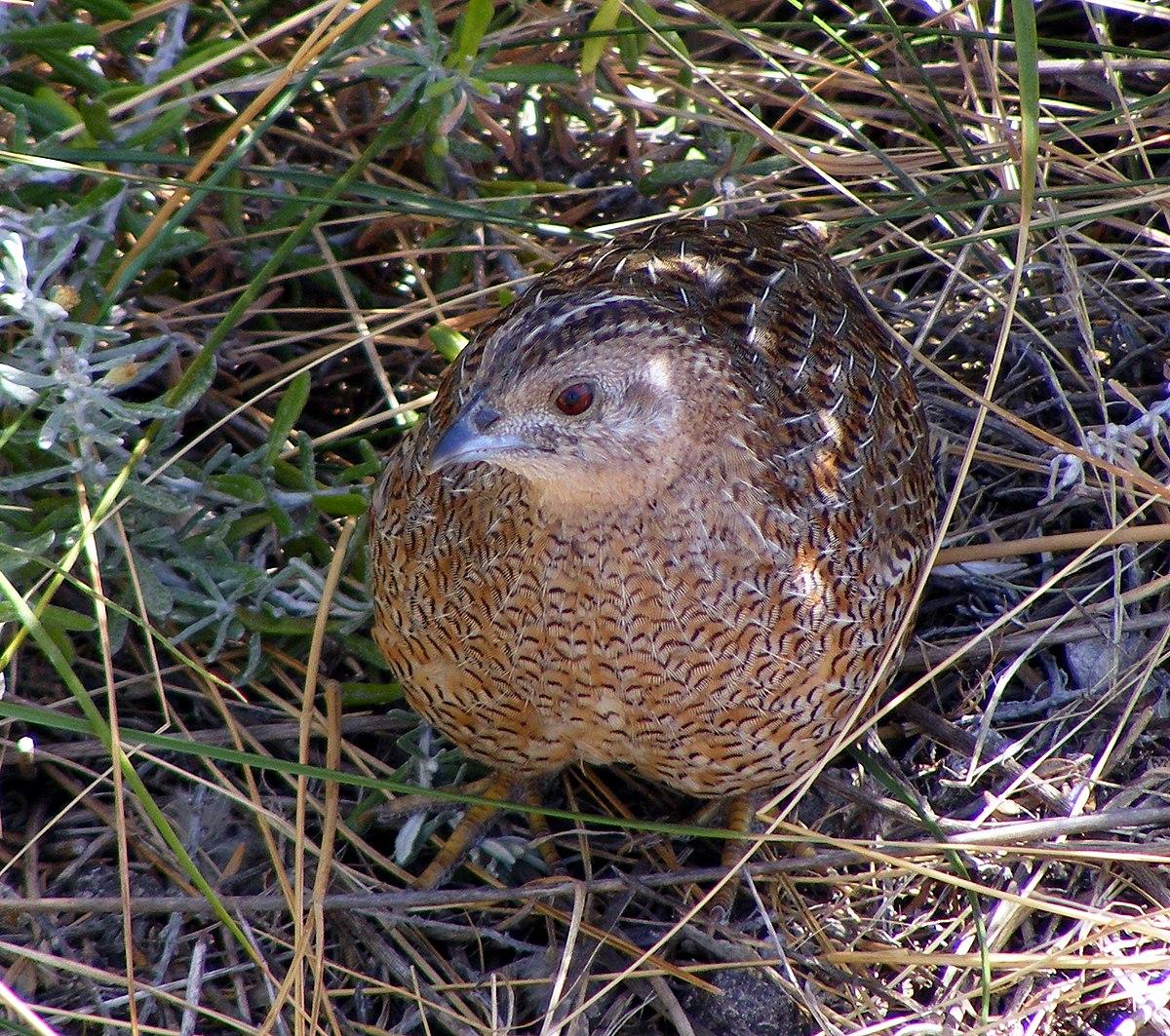 brown quail wikipedia