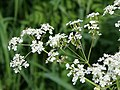 Cow parsley (Anthriscus sylvestris) - geograph.org.uk - 819639.jpg