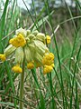 Cowslips in Kirkstall - geograph.org.uk - 164155.jpg