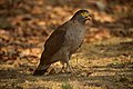 Creasted serpant eagle.jpg