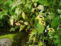 Cremanthodium arnicoides (7855600314).jpg