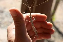 Creosote Bush Walkingstick 01.JPG