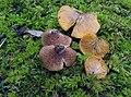 Crepidotus crocophyllus 13072254.jpg
