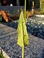 Crepis pulchra sl73.jpg