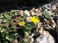 Crepis pygmaea.jpg