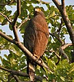 Crested Serpent Eagle (Spilornis cheela) in Kawal WS, AP W IMG 1917.jpg
