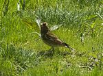Crimson-winged Finch - Almaty - Kazakistan S4E2283 (22647791229).jpg
