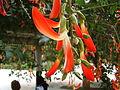 Crista-de-galo (Camptosema grandiflora), brazilian native. Sao Paulo Botanical garden3.jpg