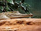 Crocodylus-johnsoni-3.jpg
