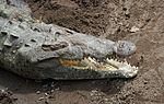 File:Crocodylus acutus 2 CR.JPG