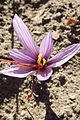 Crocus sativus, saffron (37).jpg
