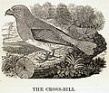 Crossbill woodcut by Thomas Bewick.jpg