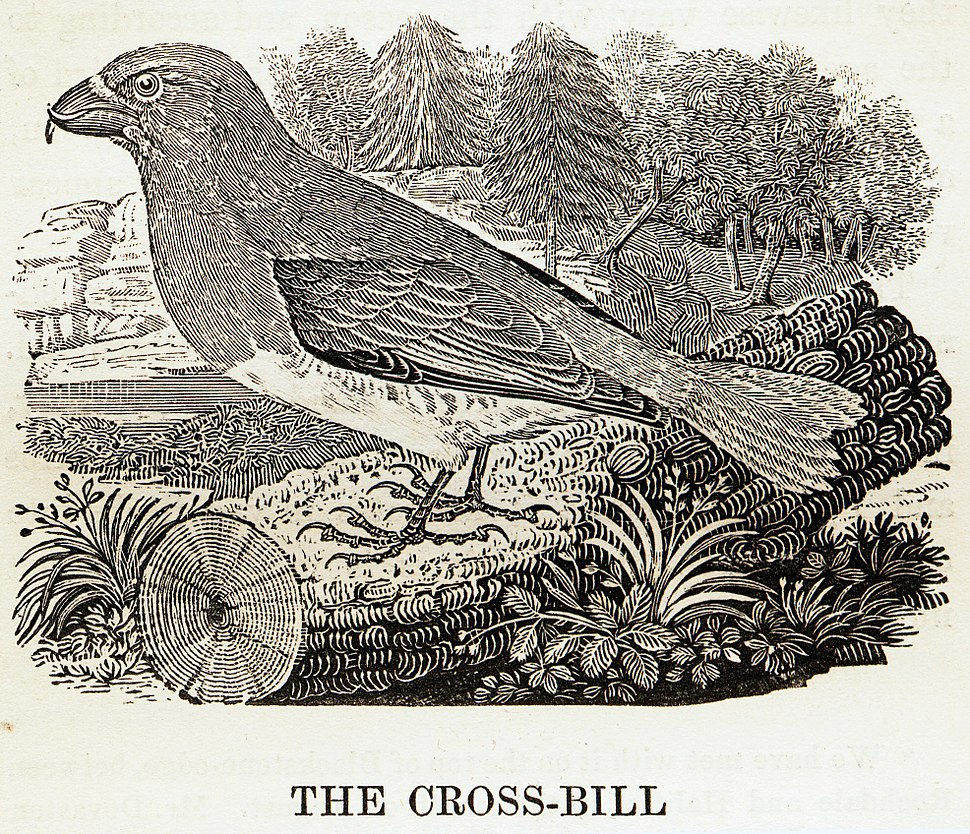 Crossbill woodcut by Thomas Bewick