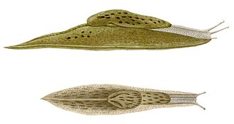 Semi-slug - Drawing of two views of Cryptella canariensis from the Canary Islands