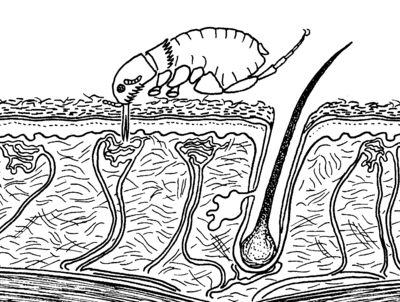 Ctenocephalides adult feeding skin.png