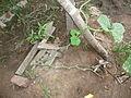 Cucurbita moschata (zapallo espontáneo) tallo primario hábito cerca del sitio de germinación.JPG