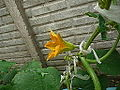 "Cucurbita pepo ""zapallo de Angola"" semillería La Paulita - flor masculina 4 - 6,17 hs flor parcialmente abierta.JPG"