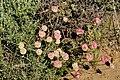 Cushion Buckwheat (Eriogonum ovalifolium) on Seedskadee National Wildlife Refuge (27941659555).jpg