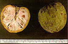 Annona reticulata est une espèce du genre Annona, originaire d'Amérique tropicale. Ce petit arbre fruitier est appelé en français cachiman, corossolier réticulé1 ou encore anone cœur de bœuf2 et cœur de bœuf tout court3.   Sommaire 1 Habitat 2 Description 3 Notes et références 4 Liens externes Habitat  Fruit mature du cœur de bœuf. Sur une branche voisine, un loriot de Chine. Photographie prise en octobre 2007 à Kajang, Selangor, dans l'est de la Malaisie. Il pousse en basse altitude et en zone chaude et humide. Dans l'Ancien monde, on le rencontre en Inde au sud du plateau du Dekkan.  Description  Fruit de l'Annona reticulata C'est un petit arbre à feuilles caduques ou semi-permanentes pouvant atteindre 10 m de hauteur.  Les feuilles sont alternes, simples, oblongues-lancéolées. de 10 à 15 cm de long et de 5 à 10 cm de large.  Les fleurs apparaissent en grappes, sont espacées de 2 à 3 cm et ont 6 pétales jaune-vert.  Le fruit est de forme variable, allant de l'aspect globuleux symétrique à celui d'un cœur, oblong et irrégulier. Sa taille est de 7 à 12 cm. À maturité le fruit est de couleur brune ou jaunâtre, tacheté de rouge et strié d'un réseau de lignes en mailles de filet plus ou moins dense selon la variété. Le goût en est sucré et agréable, rappelant celui des fruits du cherimoya ou de l'attier, avec lequel il est parfois confondu.