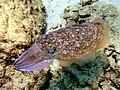 CuttlefishJI1.jpg