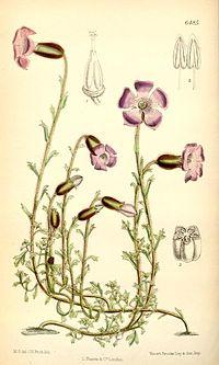 Cyananthus lobatus
