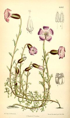 Cyananthus lobatus, Illustration.