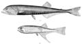 11 / Gonostomatidae