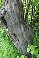 Cydonia oblonga kz01.jpg