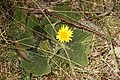 Cymbonotus sp. (37126306384).jpg