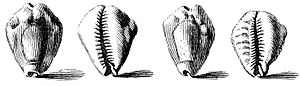 Shell money - 1742 drawing of shells of the money cowry, Cypraea moneta