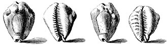 Cowry - 1742 drawing of shells of the money cowry, Cypraea moneta