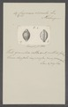 Cypraea circula - - Print - Iconographia Zoologica - Special Collections University of Amsterdam - UBAINV0274 088 02 0065.tif