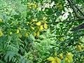 Cytisus arboreus.JPG