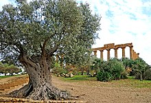 Ulivo secolare nella valle dei templi di Agrigento