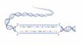 DNA strands.png