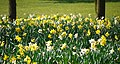 Daffodils, Bangor - geograph.org.uk - 1813992.jpg