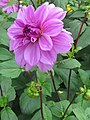 Dahlia 'Lilac Time' 2.jpg