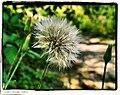 Dandelion - Flickr - pinemikey.jpg