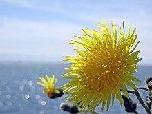 Dandelion and Ocean.jpg