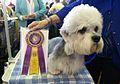 Dandie Dinmont Terrier (12486398505).jpg