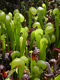 darlington californica Darlingtonia californica /dɑːrlɪŋˈtoʊniə kælɪˈfɔːrnɪkə/, also called the  california pitcher plant, cobra lily, or cobra plant, is a species of carnivorous plant ,.