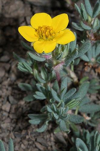 Dasiphora fruticosa - Dasiphora fruticosa subsp. floribunda