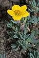 Dasiphora fruticosa 5698.jpg